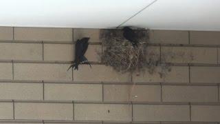 2016-07-08。 7月2日にツバメのヒナが孵化した日に、巣には1羽の親と窓...