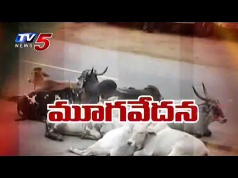 Agony of Cows | Cows Neglected by Temple Management : TV5 News