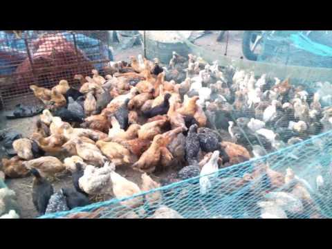 Pallavaram hens at chennai