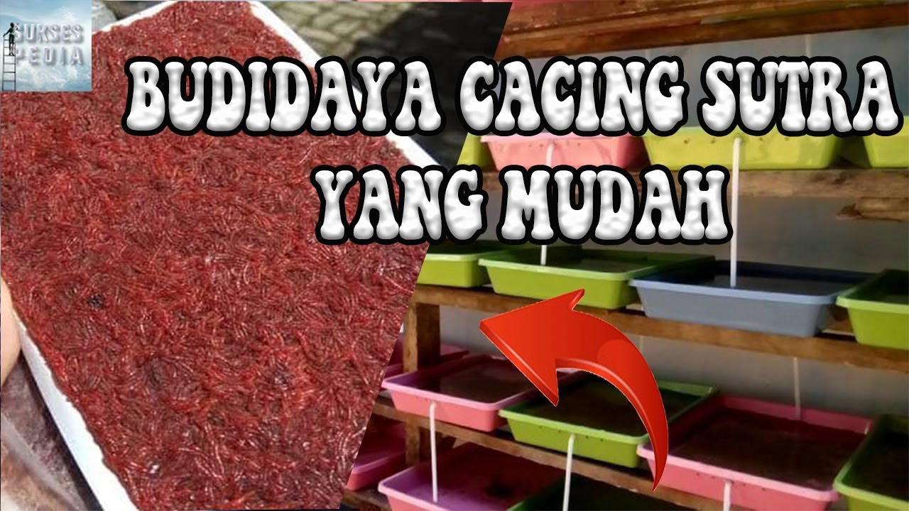 Budidaya Cacing Sutra Tanpa Lumpur Cara Modern Budidaya Cacing Paling Mudah Youtube