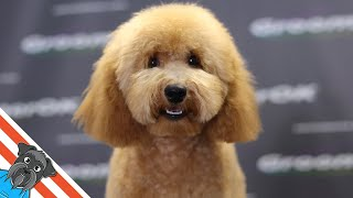 Cute maltipoo haircuts