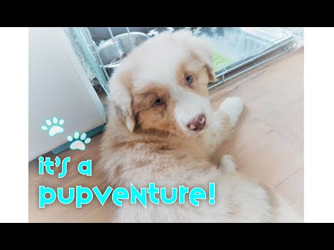 Red Merle Australian Shepherd Puppy 8-12 Weeks Journey | Blink