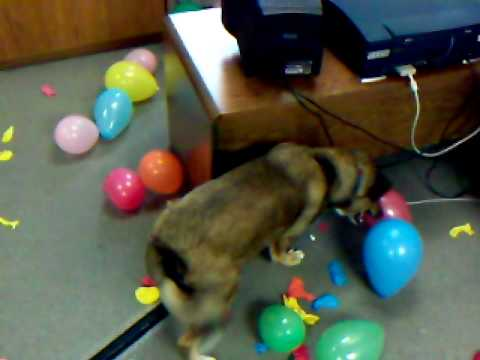 Jack the Balloon-Popping Dog