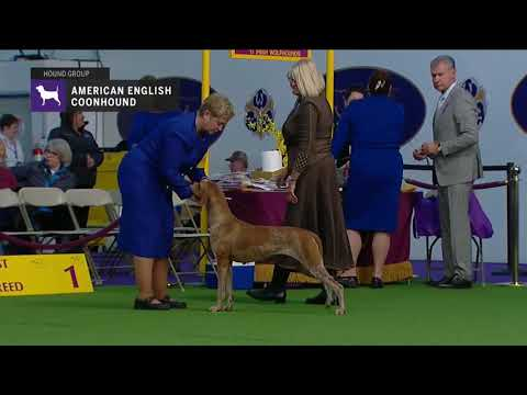 American English Coonhounds | Breed Judging 2019