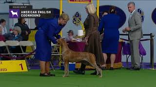 American English Coonhounds   Breed Judging 2019.