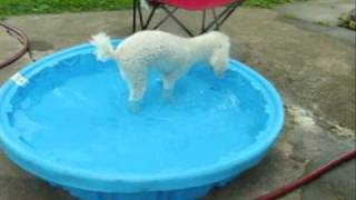 Sophia The Poodle Swimming