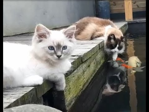 Timo and Toby the Ragdoll Cats at the pond together