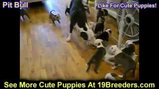 Pitbull, Puppies, For, Sale, In, Birmingham, Alabama, Al, Montgomery, Tuscaloosa, Jefferson, Shelby,