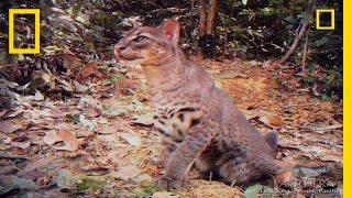 Elusive Golden Cat Filmed | National Geographic