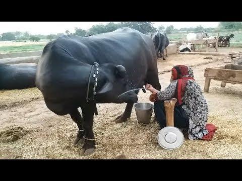 Koonj beautiful nili buffalo 22 liter milk daily in punjab village
