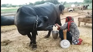 vuclip Koonj beautiful nili buffalo 22 liter milk daily in punjab village