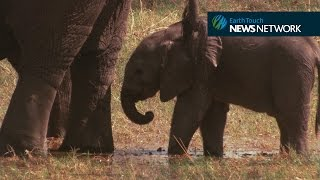 Baby elephant learns to use trunk