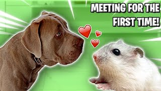 PUPPY MEETS HAMSTER FOR FIRST TIME 🐕🐹