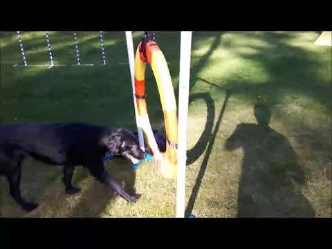 Flat-Coated Retriever puppy agility