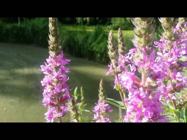 Lythrum salicaria et papillon blanc