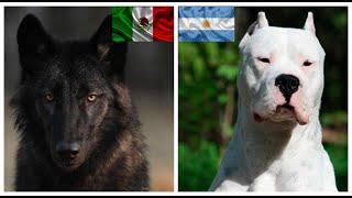 Top10 razas de  perros mas poderosos de cada pais