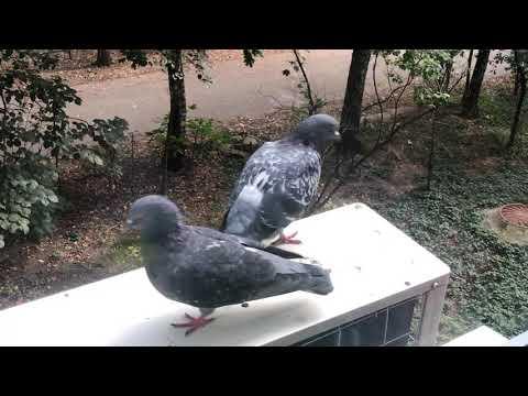 Голуби воркуют на нашем окне)