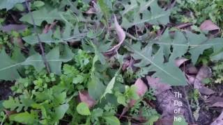 Identifying Wild Plants! Healing benefits of Wood Sorrel and Dandelion! Liver health!