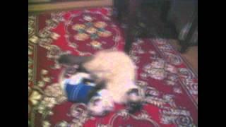 Котёнок в одежде дерётся со своей мамой