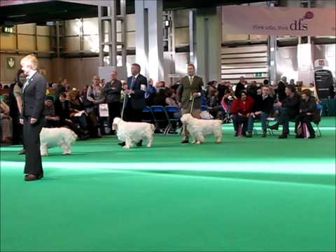 Clumber Spaniel Dogs at Crufts 2011