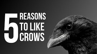 5 Reasons To Like Crows (American Crow)