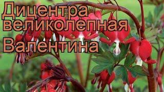 Дицентра великолепная Валентина (dicentra valentine) ???? обзор: как сажать, саженцы дицентры Валентина