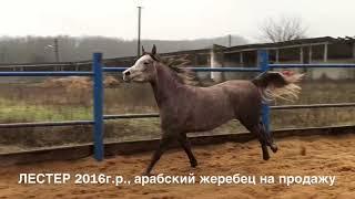 Продажа лошадей арабской чистокровной породы, жеребец ЛЕСТЕР 2016г.р.