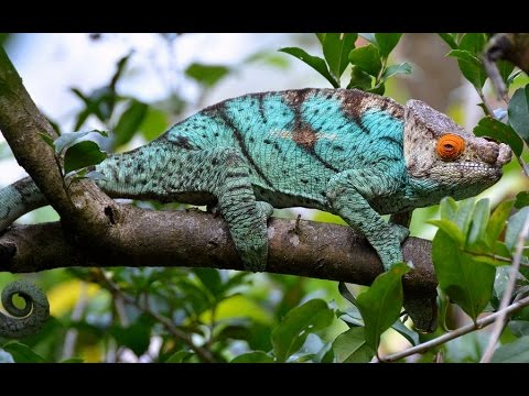 Chameleon For Sale Uk, Chameleon Panther, Yemen Chameleon Care, Chameleon Life Span