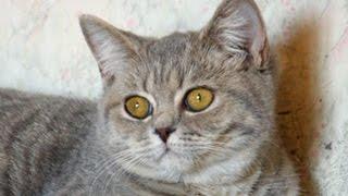 Продажа - голубой британский котенок - девочка/For sale - blue British kitten -  female