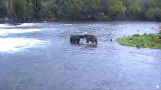 Дикая природа Аляски Два медведя разбираются Рыбы нет - ушла вниз по реке Кто виноват и что делать(ПОВЕДЕНИЕ и ПОВАДКИ ЖИВОТНЫХ МЕДВЕДИ в ЗАПОВЕДНИКЕ и ДИКАЯ ПРИРОДА WILDLIFE ЖИВОТНЫЕ В прямом эфире - потоковое..., 2015-09-16T07:55:00.000Z)