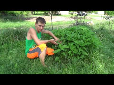 How To Grow Jerusalem Artichokes Patches In Your Yard or Permaculture Food Forest - EASY!!!