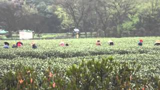 Hangzhou China - Tea Plantation 04-04-12