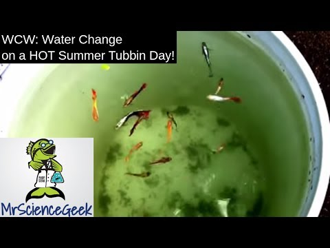 Water Change Wednesday: Adding Cool Water To The Guppy Ponds On A Hot Summer Tubbin Day!