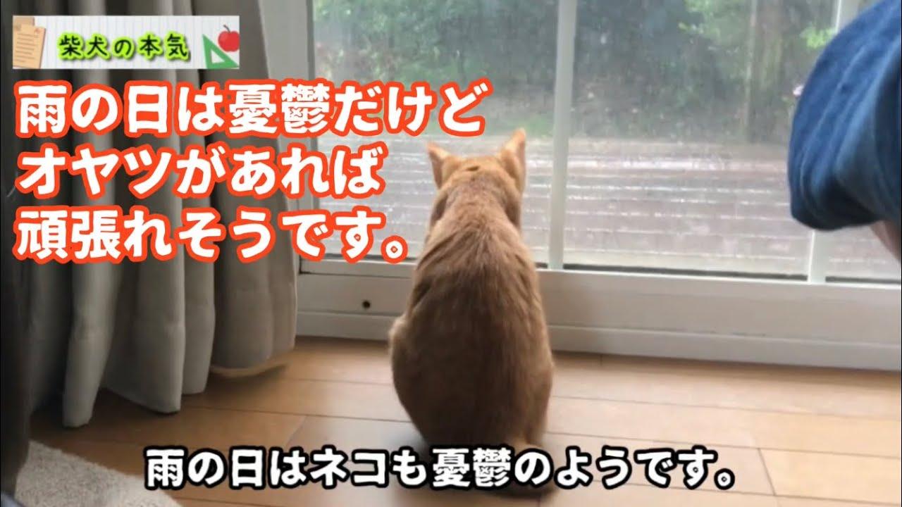 【柴犬】雨の日は憂鬱だけどオヤツがあれば頑張れそうです。そんな柴犬の本気。【茶虎猫】※クイズは無いけどツッコミどころがあります(笑)わかりますか?