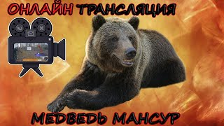 Ведмідь Мансур - вольєр в прямому ефірі   LiveCam Mansur Bear