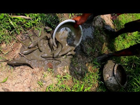walking catfish | asian traditional fishing | catching fish with hand in bangladesh