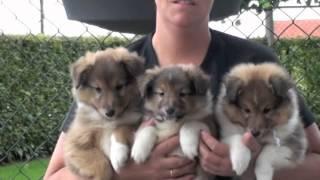 Sheltie Pups Te Koop
