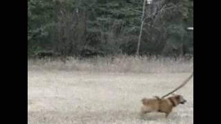 Как ненадо выгуливать собаку