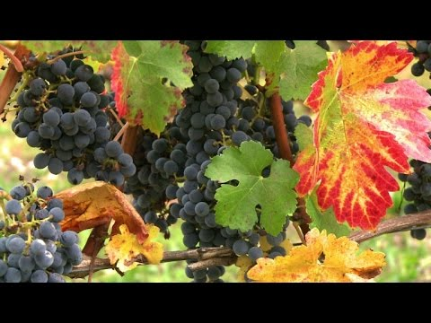 Can Bordeaux adapt its wines to climate change?