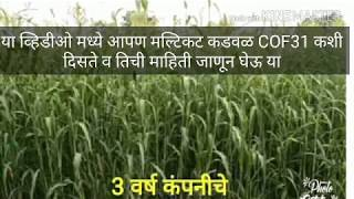 कडवळ Multicut cofs31 COFS31 FOODER SEEDS AVAILABLE FOR MORE INFO U CAN CANTACT US ON 9405359244