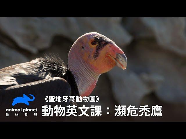 【中英雙字幕】動物線上英文課:美國瀕危禿鷹復育 動物星球頻道