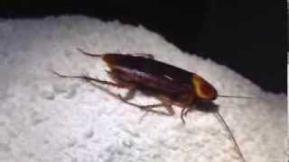 Huge Palmetto Bug in North Port Sarasota FL House by Sarasota Pest Control Expert Johnny Bugs