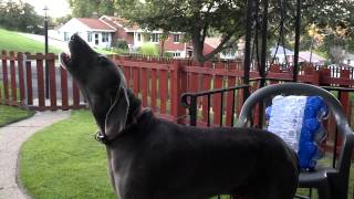 Weimaraner Howling With Fire Whistle