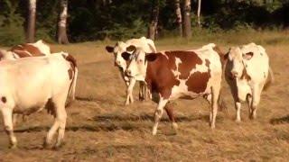 l elevage bovin en provence alpes cote dazur