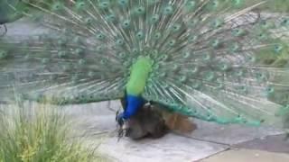 Peacock Mating 3