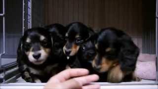 12月22日生まれのミニチュアダックスの クロロの仔犬達です。
