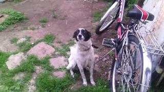 Когда я посадила собаку на цепь)