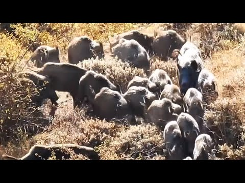 BEST WILD BOAR HUNTS 2 - EN İYİ DOMUZ AVLARI