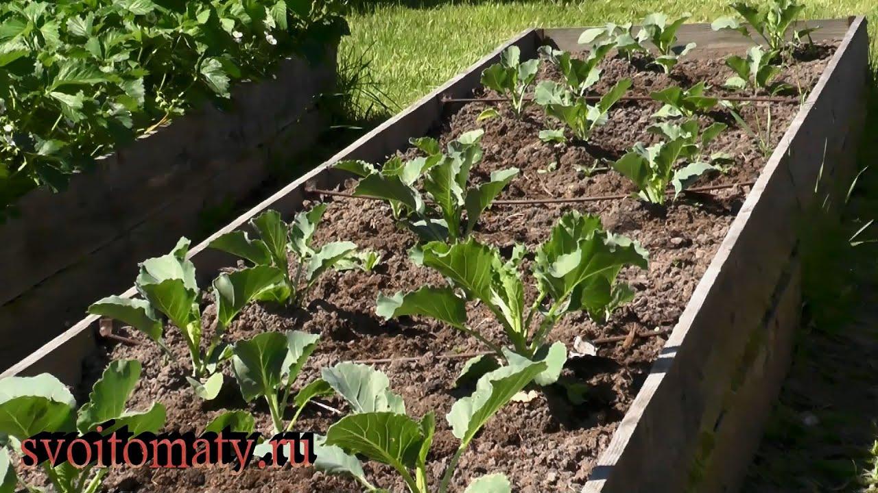 Как подтолкнуть рост капусты.  Подкормки, уход и борьба с вредителями