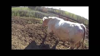 Les taureaux retrouvent des vaches
